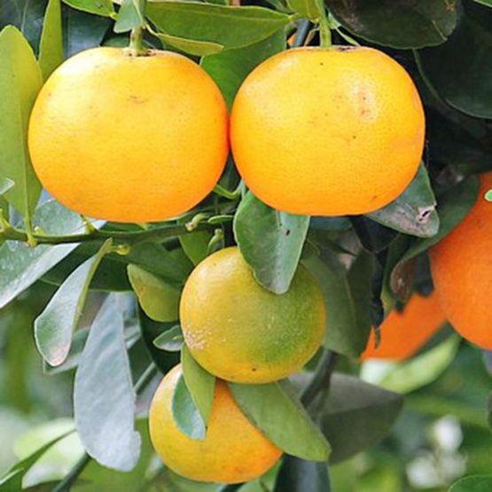 Sinaasappel (zoet)