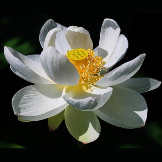 Beauté Royale Ontspannende Witte Lotus Gel Pakking